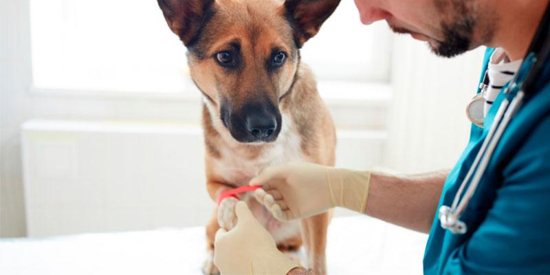 veterinario tratando una herida de un perro